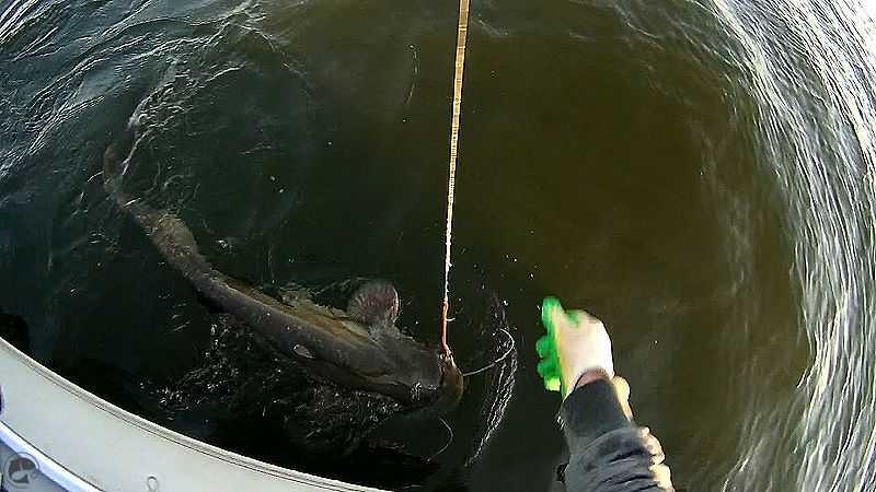 Интересные факты о соме и рыбалке на сома